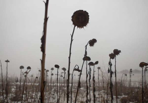 Withered sunflowers stand in the fog on
