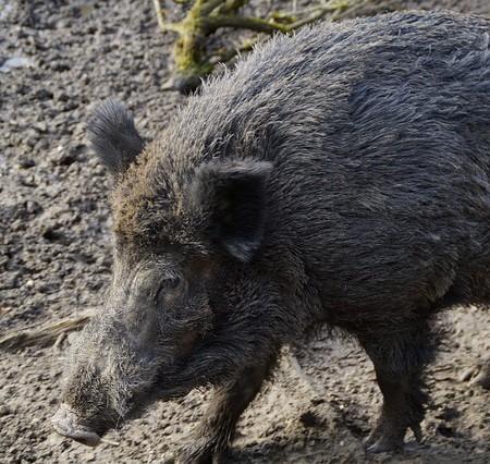 wild-boar-266730_640